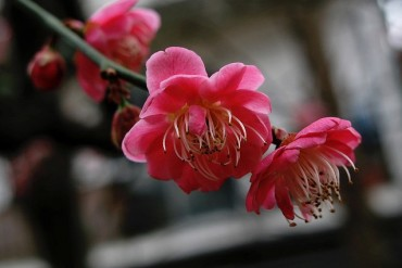 2014-02-02_04_Plum Blossom Flower Japan Spring